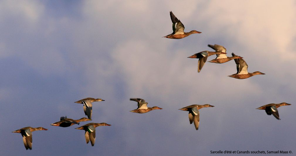 https://cdnfiles1.biolovision.net/franche-comte.lpo.fr/userfiles/observer/Wetlands/Canardsenvol.jpg