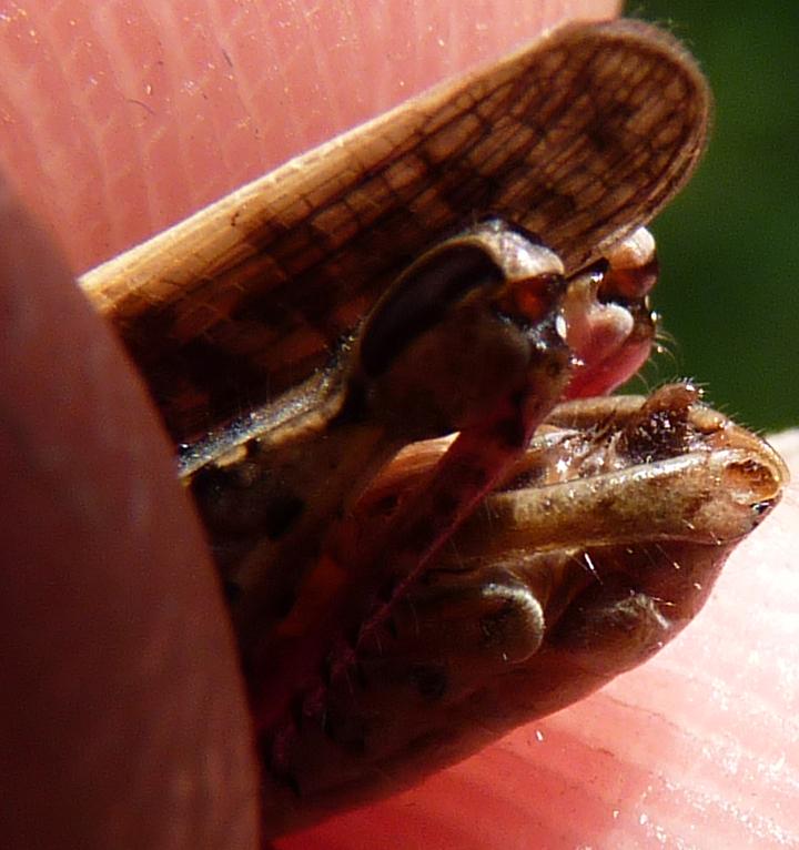 https://cdnfiles1.biolovision.net/www.faune-alsace.org/userfiles/Insectes/ORTHOPTERA/Calliptamus/P1080371PallliumCalitalicusM.jpg