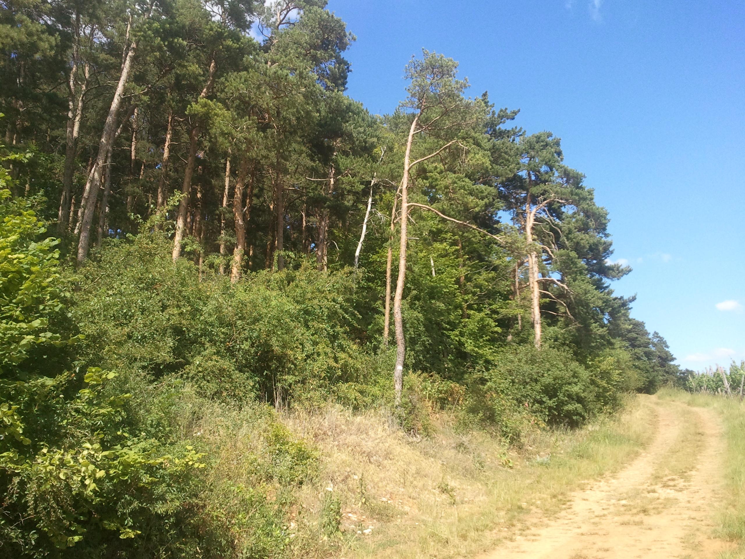 https://cdnfiles1.biolovision.net/www.faune-alsace.org/userfiles/Insectes/cigales/Cicadettacantilatrix-Barr-201406152.jpg