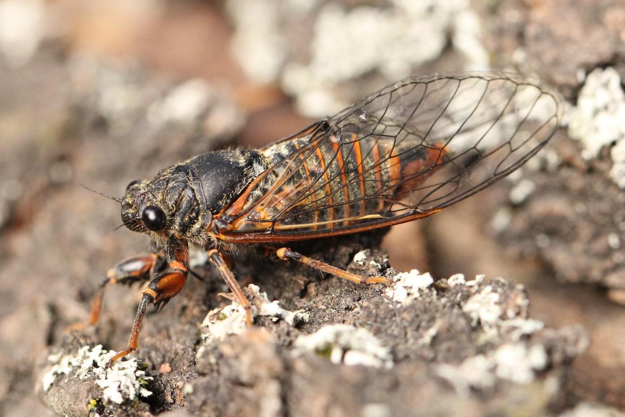 https://cdnfiles1.biolovision.net/www.faune-alsace.org/userfiles/Insectes/cigales/Homoptera-Tibicinidae-Cicadettasp-24Juin2014-MEhrhardt.jpg
