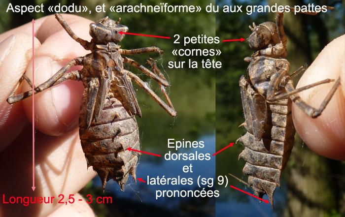 https://cdnfiles1.biolovision.net/www.faune-alsace.org/userfiles/Insectes/epitheca/epitheca-description.jpg