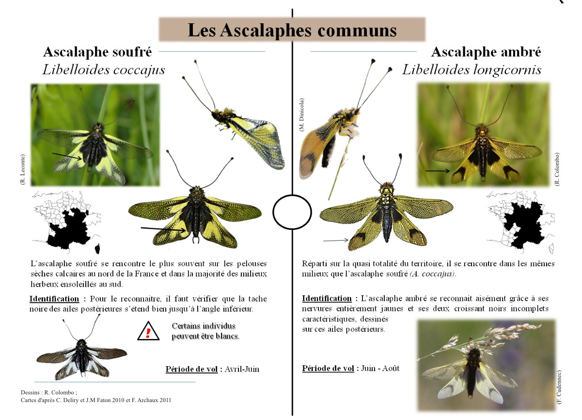 https://cdnfiles1.biolovision.net/www.faune-alsace.org/userfiles/Insectes/plaquetteversion4-page3.jpg
