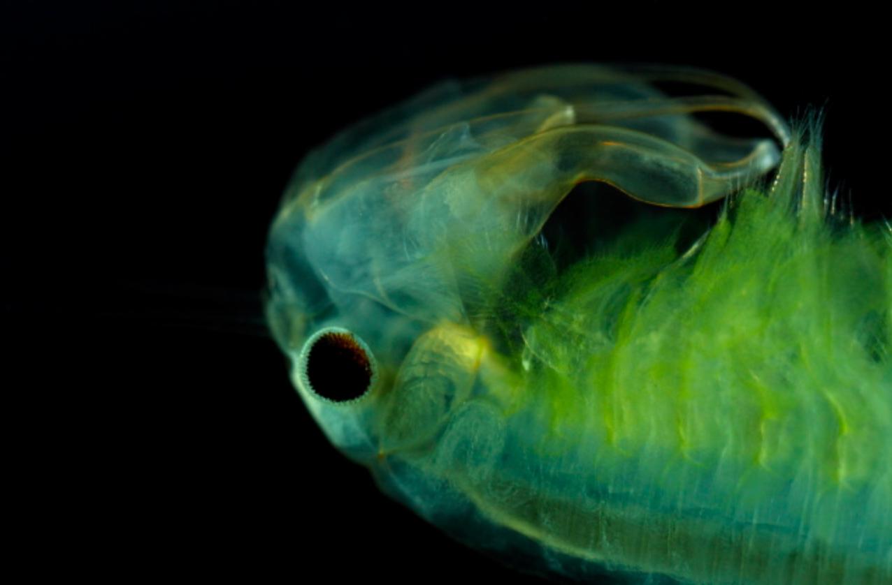 https://cdnfiles1.biolovision.net/www.faune-alsace.org/userfiles/branchioJFC/Bschaeftete.jpg