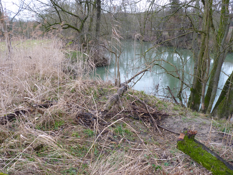 https://cdnfiles1.biolovision.net/www.faune-alsace.org/userfiles/gepma/castor/Berge-haute-avec--terrier-et-recharge-de-branchages-event-Ill-a-Zillisheim-68-fev-2014.jpg