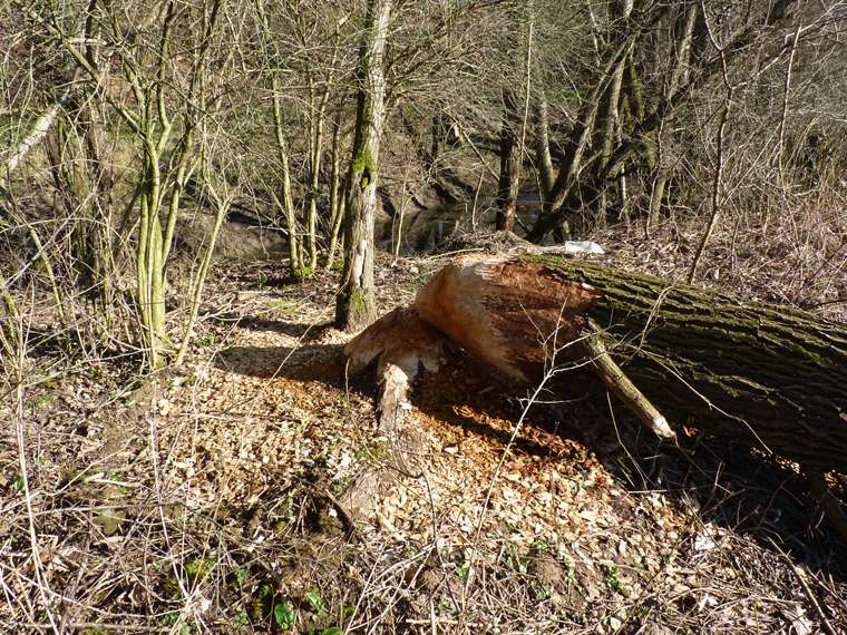 https://cdnfiles1.biolovision.net/www.faune-alsace.org/userfiles/gepma/castor/Coupe-sur-saule-arborescent-Soultzbach--a-Falkwiller-68-mars-2014.jpg
