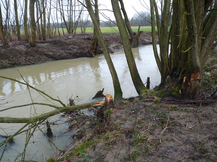 https://cdnfiles1.biolovision.net/www.faune-alsace.org/userfiles/gepma/castor/Coupes-sur-saules-Largue-a-Balschwiller-68-Fev.-2014.jpg