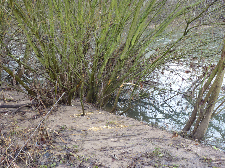 https://cdnfiles1.biolovision.net/www.faune-alsace.org/userfiles/gepma/castor/Coupes-sur-saules-arbustifs-Ill-a-Reguisheim-68-mars-2014.jpg