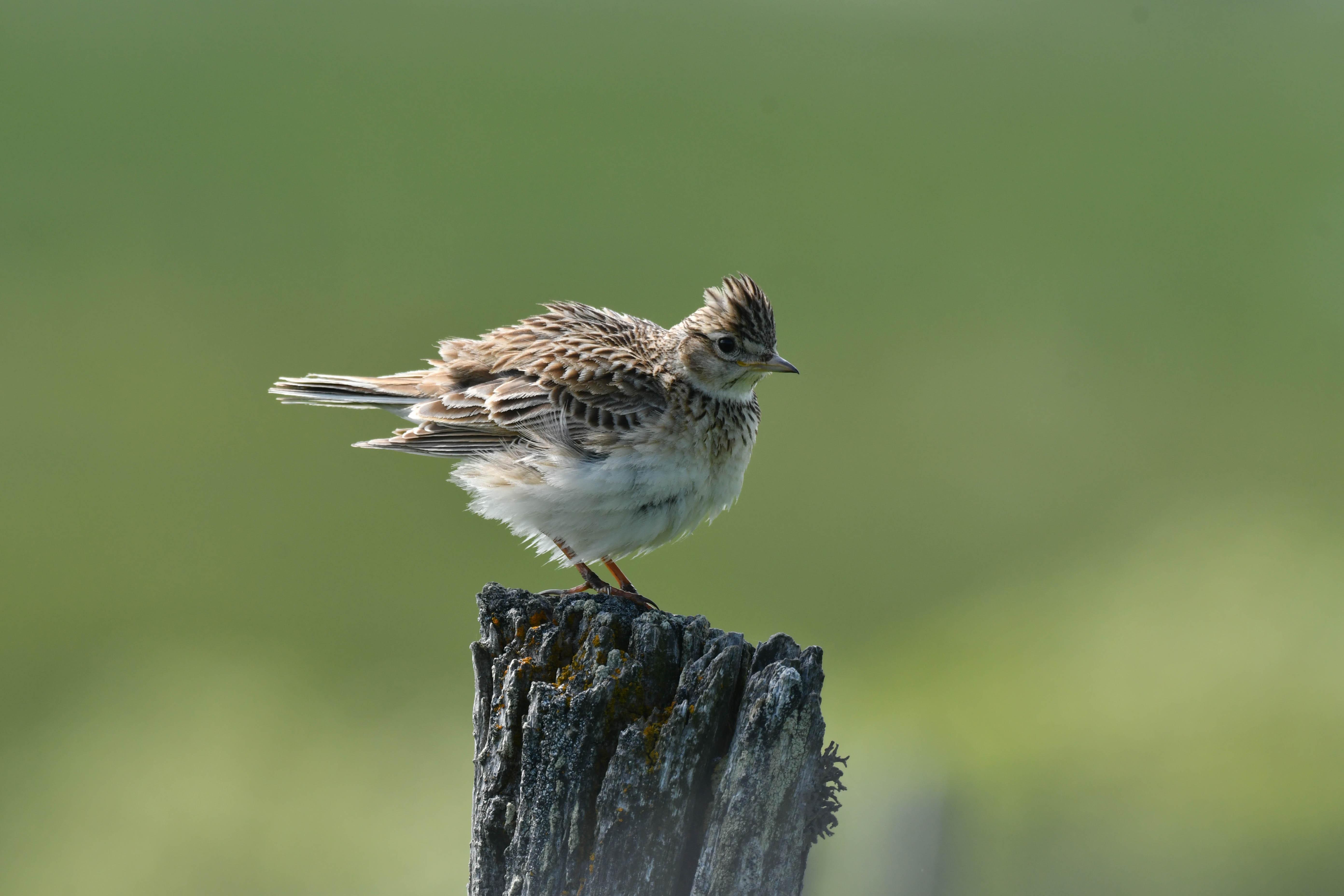 https://cdnfiles1.biolovision.net/www.faune-auvergne.org/userfiles/ACTUS/alouettedeschamps-cbouchardymini.jpg