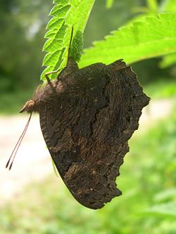 https://cdnfiles1.biolovision.net/www.faune-champagne-ardenne.org/userfiles/papillons/Paon-de-jour-pondant-pt.jpg