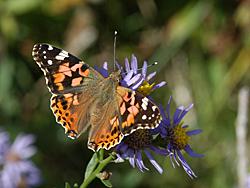 https://cdnfiles1.biolovision.net/www.faune-champagne-ardenne.org/userfiles/papillons/belledame2pt.jpg