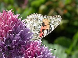 https://cdnfiles1.biolovision.net/www.faune-champagne-ardenne.org/userfiles/papillons/belledamept.jpg