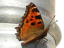 https://cdnfiles1.biolovision.net/www.faune-champagne-ardenne.org/userfiles/papillons/gdetortpt.jpg