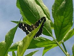 https://cdnfiles1.biolovision.net/www.faune-champagne-ardenne.org/userfiles/papillons/prorsapt.jpg