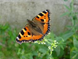 https://cdnfiles1.biolovision.net/www.faune-champagne-ardenne.org/userfiles/papillons/ptetortuept.jpg