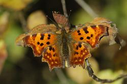 https://cdnfiles1.biolovision.net/www.faune-champagne-ardenne.org/userfiles/papillons/rld2pt.jpg