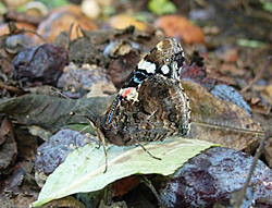 https://cdnfiles1.biolovision.net/www.faune-champagne-ardenne.org/userfiles/papillons/vulcainpt.jpg