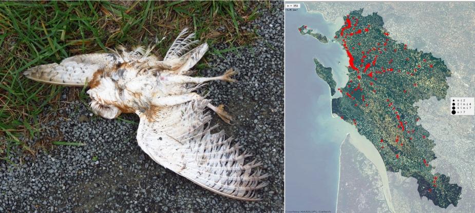 https://cdnfiles1.biolovision.net/www.faune-charente-maritime.org/userfiles/Fauneetroute/Effraiecartocollision.jpg