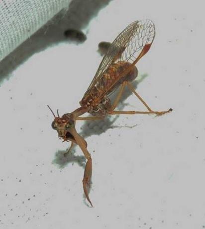 Mantispe commune Mantispa styriaca - Cliché : Genevieve Charles
