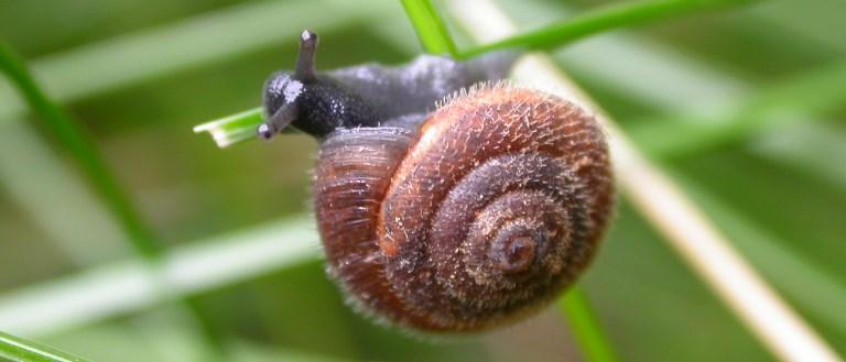 https://cdnfiles1.biolovision.net/www.faune-charente-maritime.org/userfiles/Mollusques/Trochulussp001.jpg