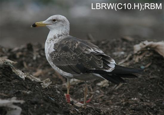 https://cdnfiles1.biolovision.net/www.faune-charente-maritime.org/userfiles/Oiso/Larfus.jpg