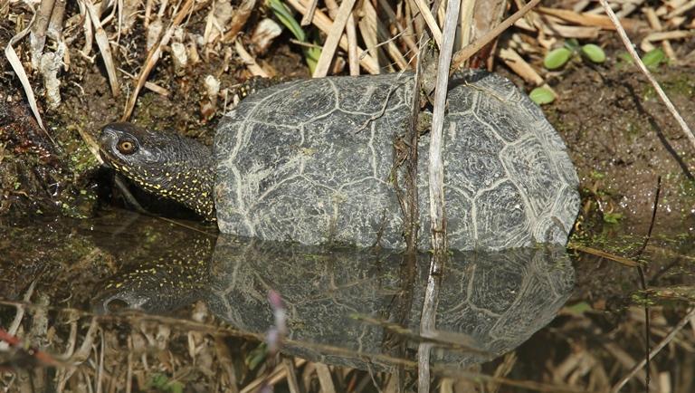 https://cdnfiles1.biolovision.net/www.faune-charente-maritime.org/userfiles/Reptiles/Emyorb.jpg