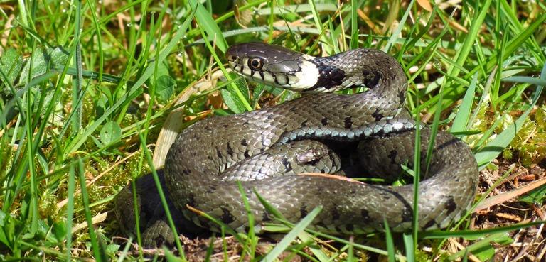 https://cdnfiles1.biolovision.net/www.faune-charente-maritime.org/userfiles/Reptiles/NatnatOK.jpg