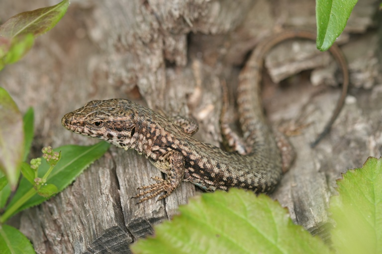 https://cdnfiles1.biolovision.net/www.faune-charente-maritime.org/userfiles/Reptiles/PodmurOK.jpg
