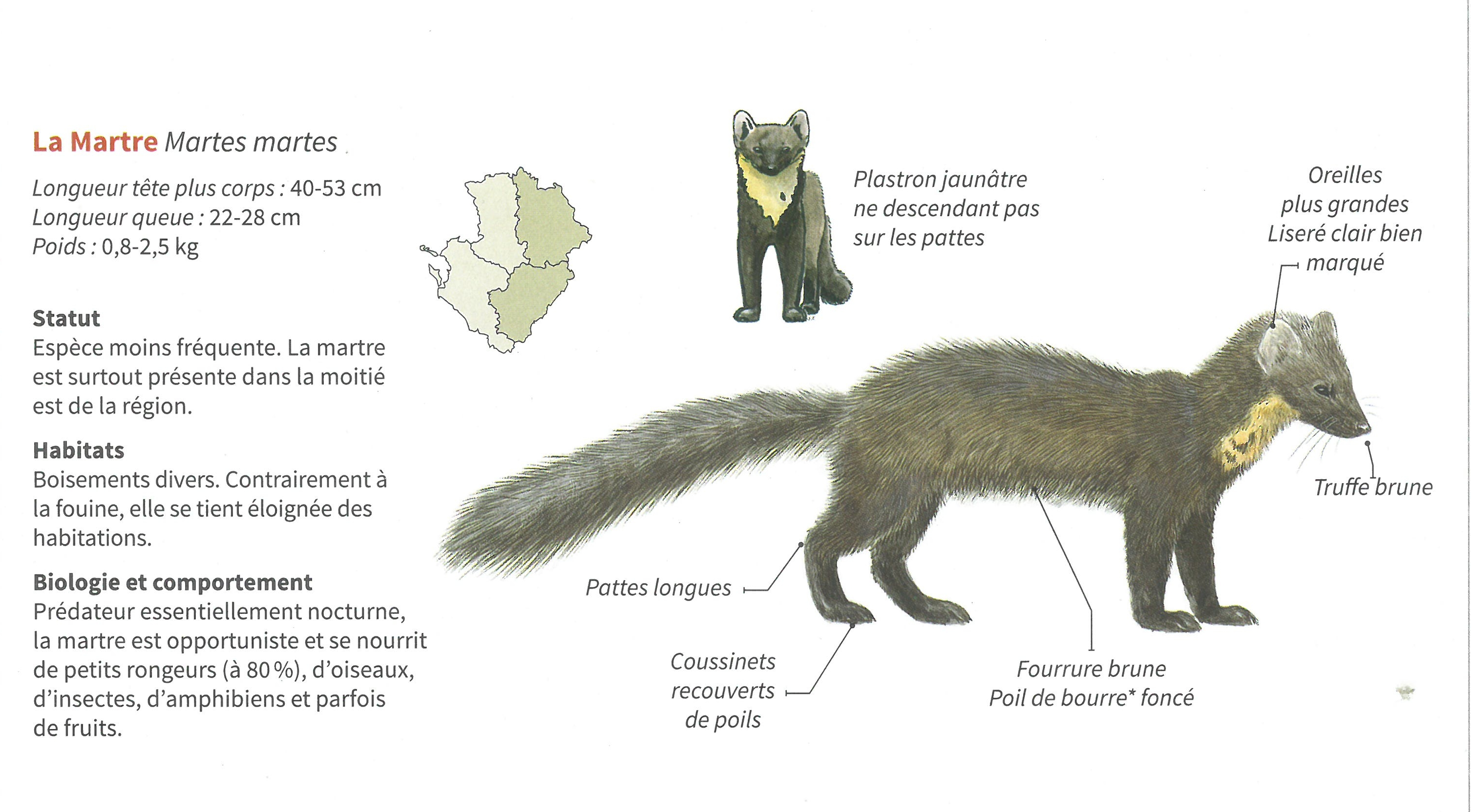 https://cdnfiles1.biolovision.net/www.faune-charente.org/userfiles/ExMartre.jpg