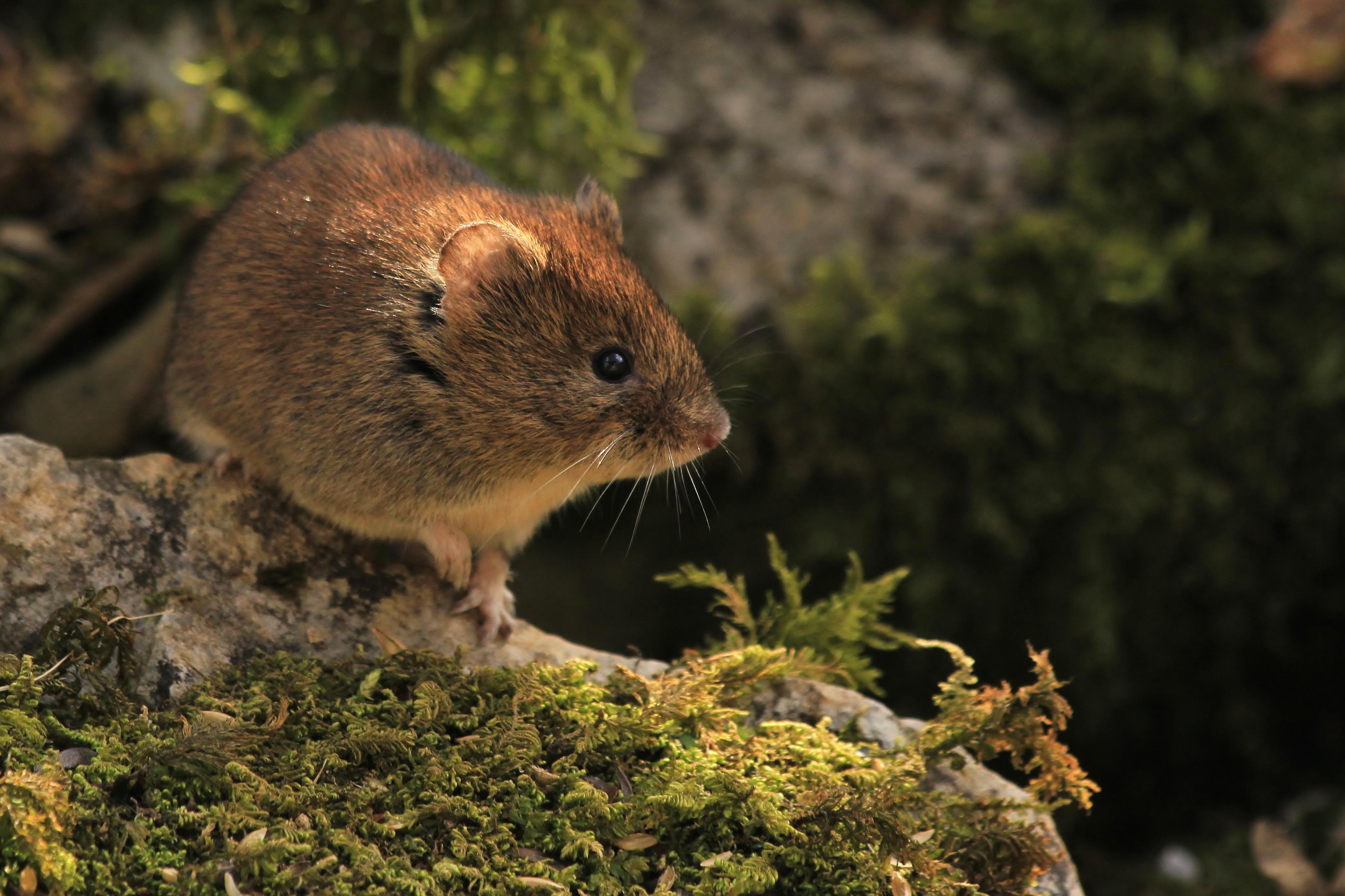 https://cdnfiles1.biolovision.net/www.faune-drome.org/userfiles/photo/CampagnolroussatreleGrandRatz3824Mars2015CHAUVETClement.JPG