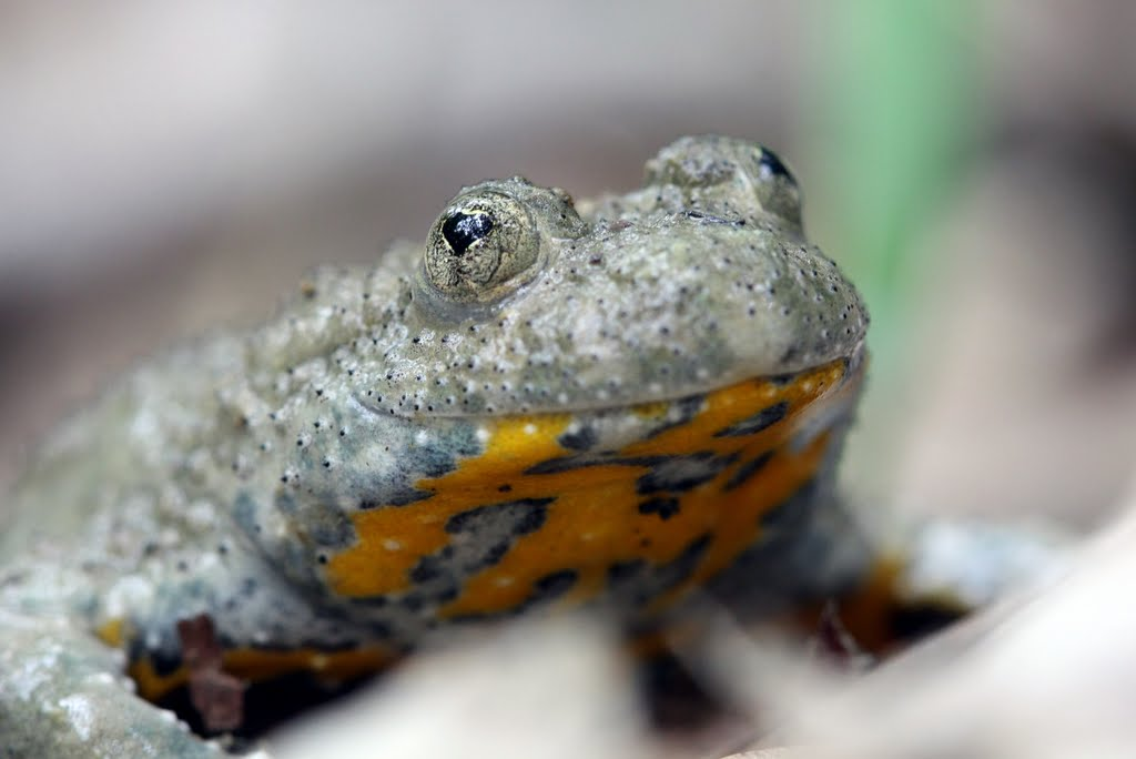 https://cdnfiles1.biolovision.net/www.faune-drome.org/userfiles/photo/CrapaudsonneurventrejauneAlexMovia2.jpg