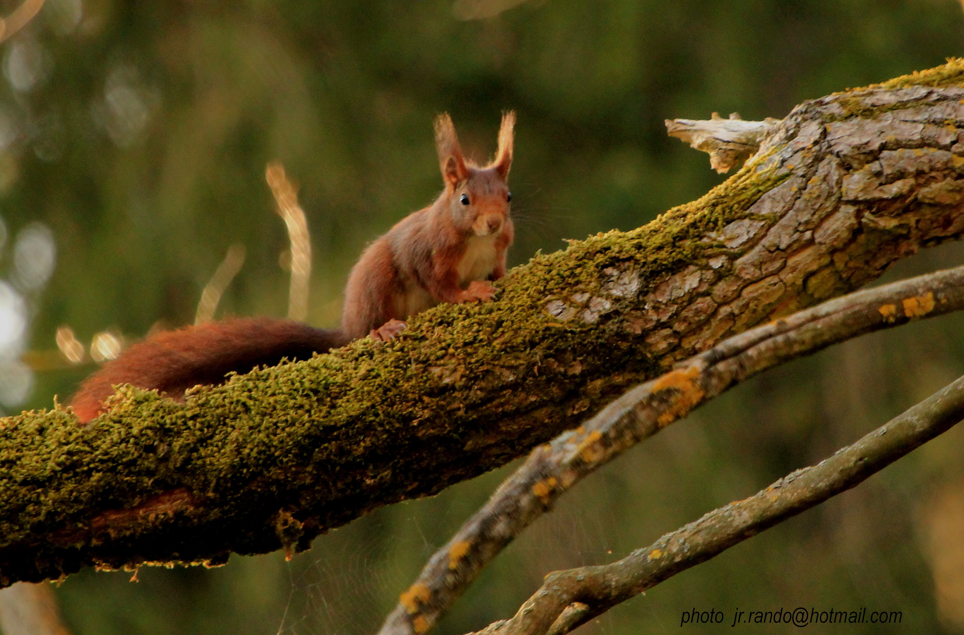 https://cdnfiles1.biolovision.net/www.faune-drome.org/userfiles/photo/JR86Ecureuilroux3012040242131.jpg