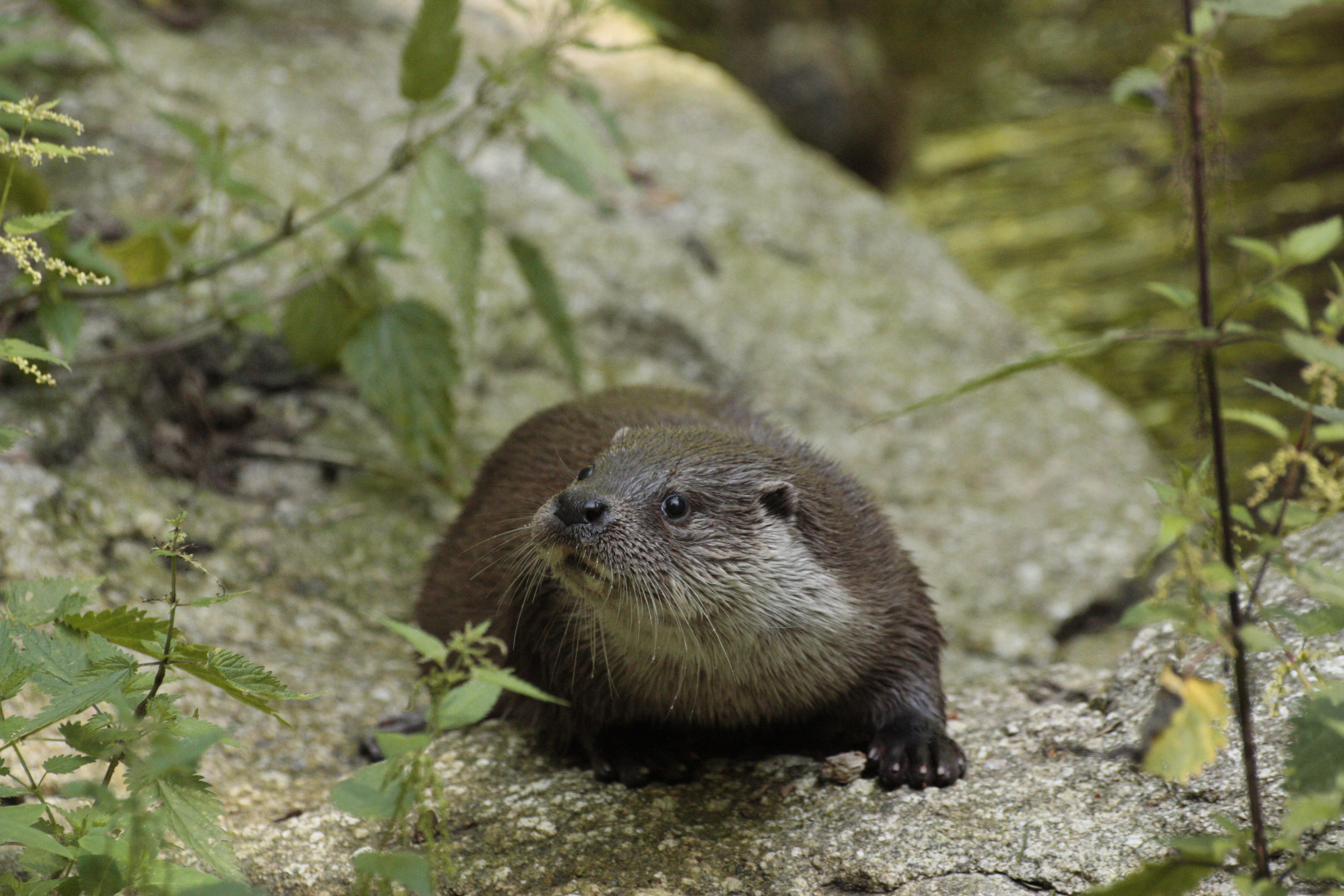 https://cdnfiles1.biolovision.net/www.faune-drome.org/userfiles/photo/Loutre1ManonBatista.JPG