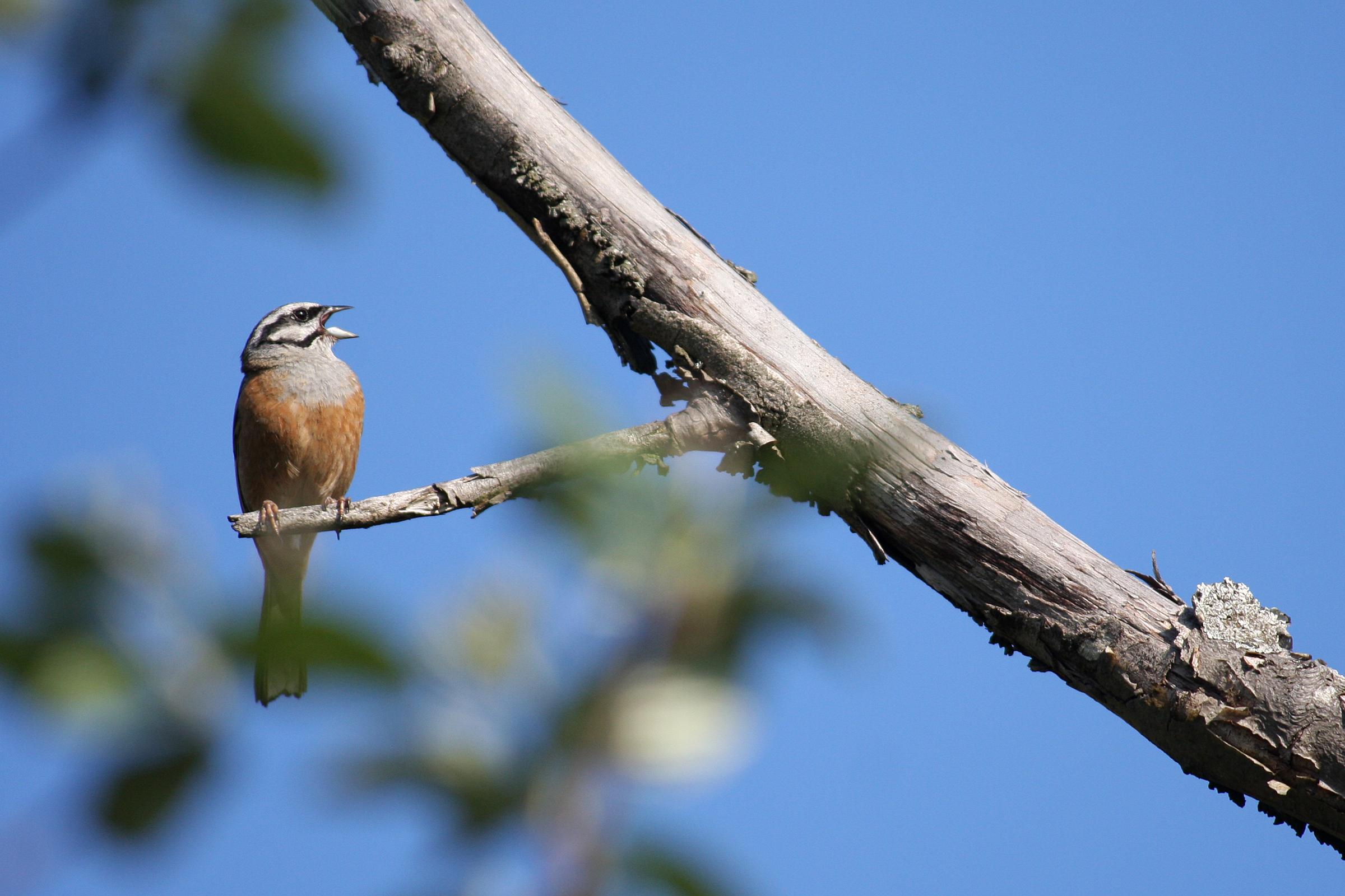 https://cdnfiles1.biolovision.net/www.faune-drome.org/userfiles/photo/VPBruantfou06.2011Lafarre-07.jpg
