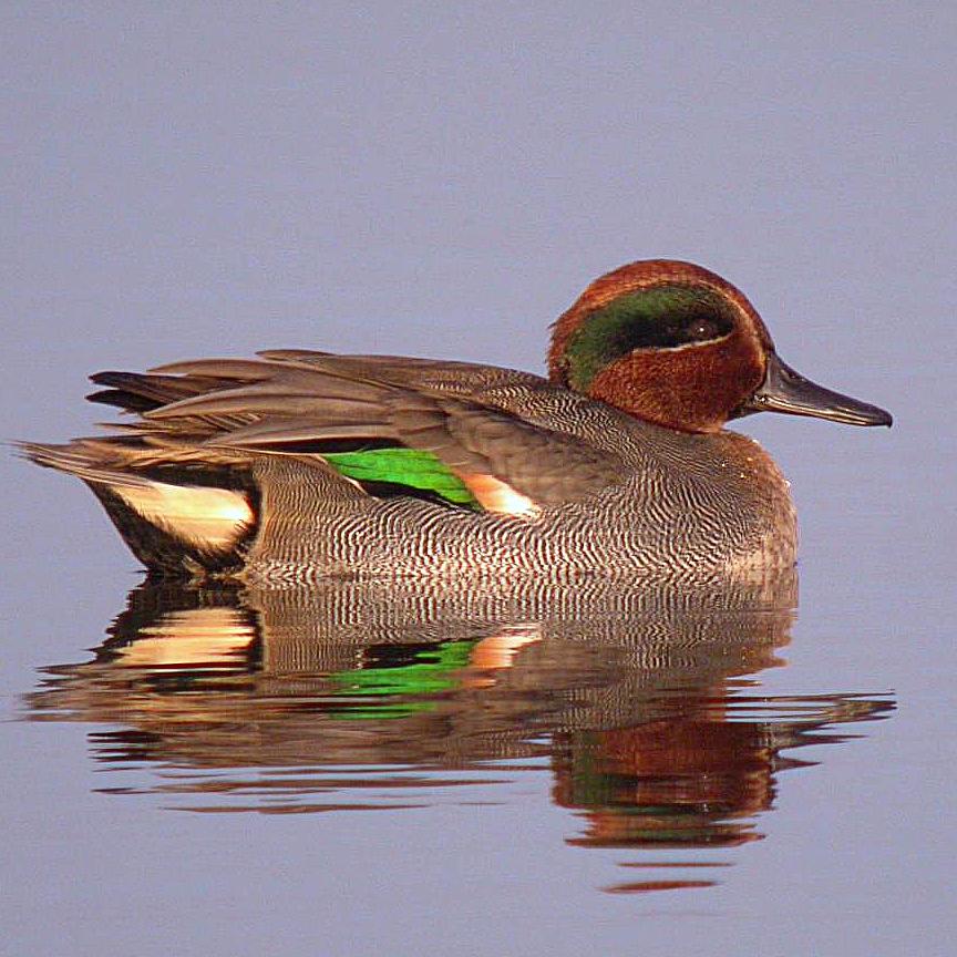 https://cdnfiles1.biolovision.net/www.faune-france.org/userfiles/FauneFrance/FFiconosp/AnacrePhJourdesquare.jpg