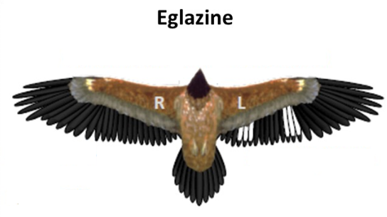 https://cdnfiles1.biolovision.net/www.faune-france.org/userfiles/FauneFrance/FFnews/eglazinemarquagealairerogne.png