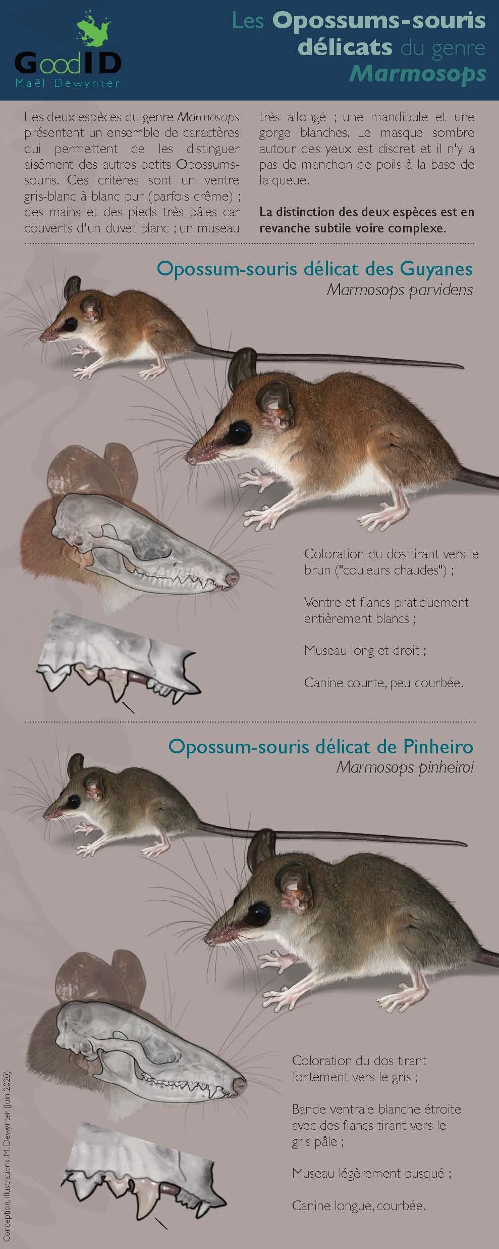 https://cdnfiles1.biolovision.net/www.faune-guyane.fr/userfiles/Documentsdivers/Mammifres/IdentificationdesMarmosopsv2020.jpg