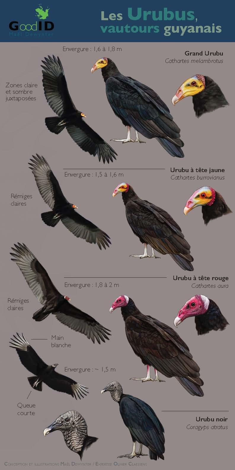 https://cdnfiles1.biolovision.net/www.faune-guyane.fr/userfiles/Documentsdivers/Oiseaux/MemoUrubusM.Dewynter110520.jpg