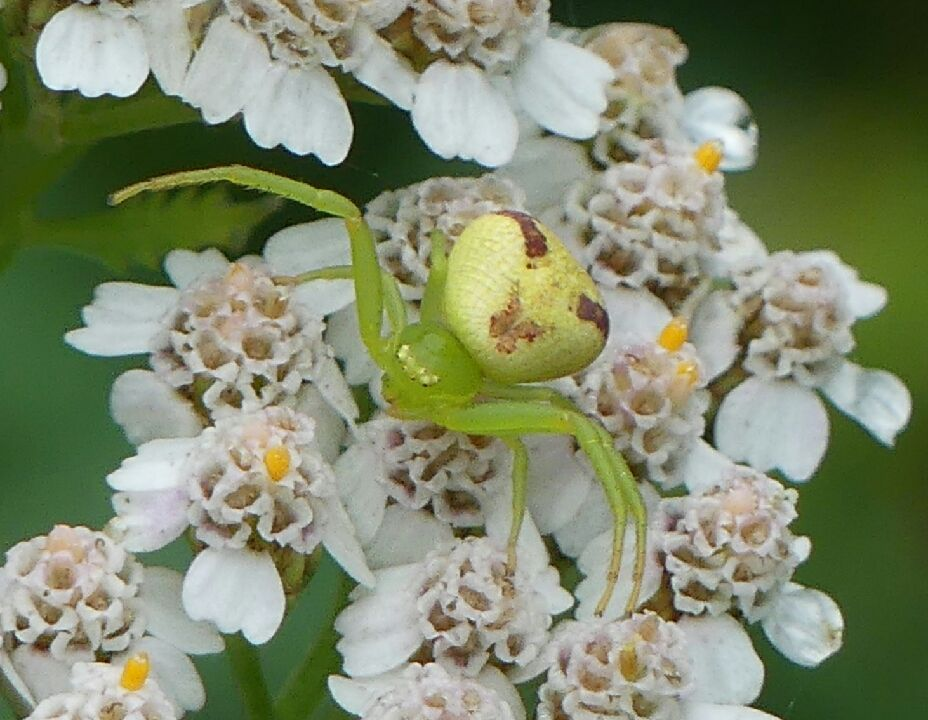 https://cdnfiles1.biolovision.net/www.faune-iledefrance.org/userfiles/Arachnides/IMG202004201142241.jpg