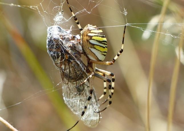 https://cdnfiles1.biolovision.net/www.faune-iledefrance.org/userfiles/Arachnides/P1180639.JPG
