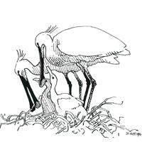 https://cdnfiles1.biolovision.net/www.faune-loire-atlantique.org/userfiles/Spatule1.jpg