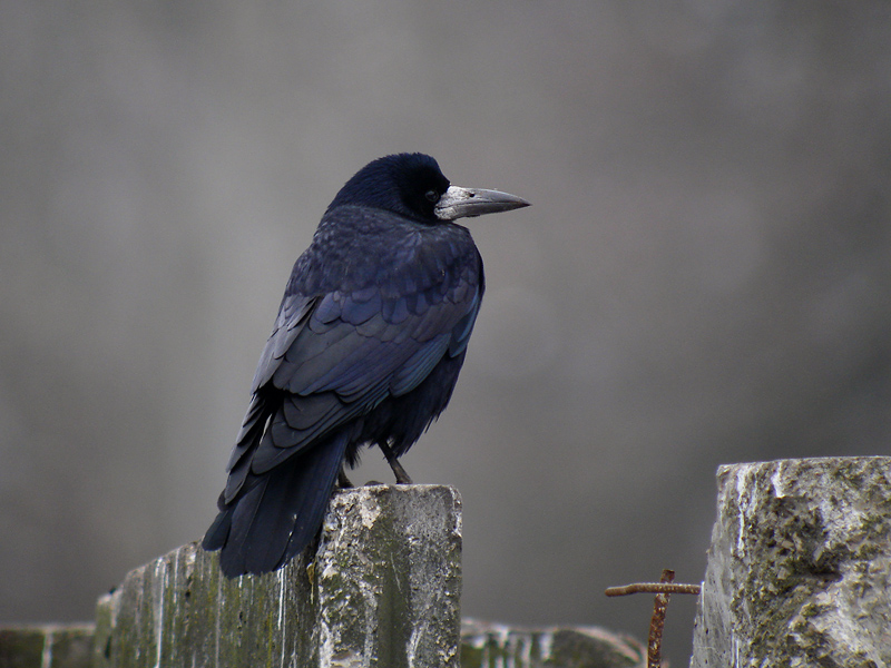 Corbeau freux 2018 faune