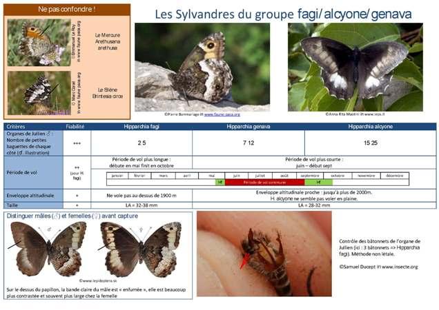 https://cdnfiles1.biolovision.net/www.faune-paca.org/userfiles/Critreshipparchia.f-g-a.jpg