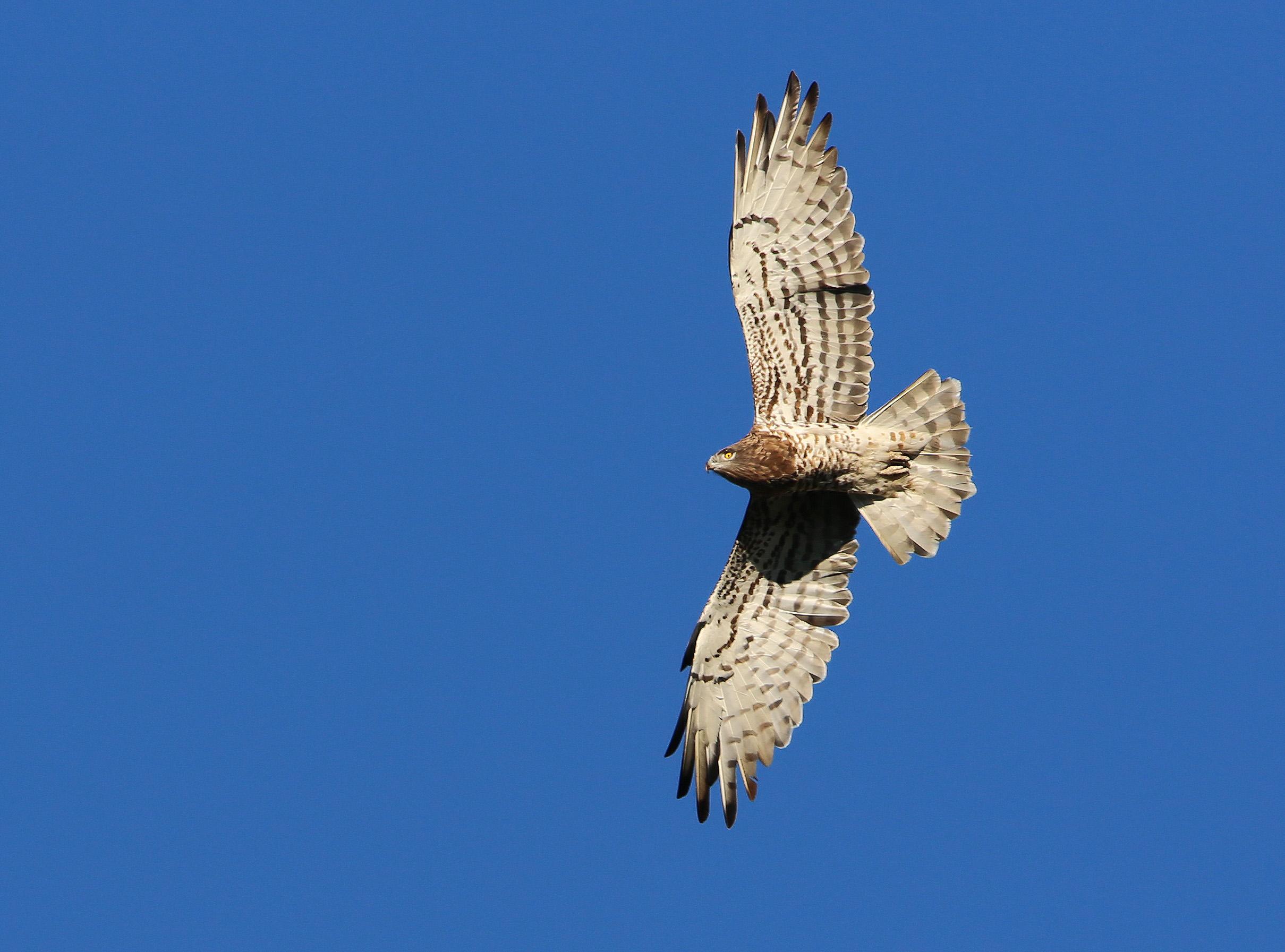 https://cdnfiles1.biolovision.net/www.faune-paca.org/userfiles/MonDossier/CircateJeanleBlancvdy.jpg