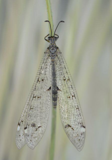 https://cdnfiles1.biolovision.net/www.faune-paca.org/userfiles/Nevropteres/FourmilionlongicorneJean-michelBompar.jpg
