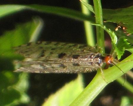 https://cdnfiles1.biolovision.net/www.faune-paca.org/userfiles/Nevropteres/Osmylusfulvicephalusauteurnondiffusdonneeprotegee.jpg