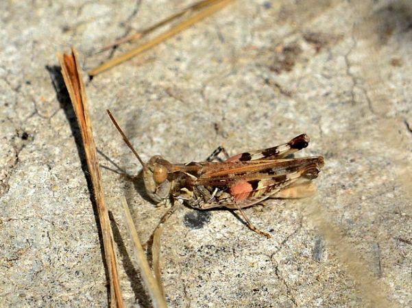 https://cdnfiles1.biolovision.net/www.faune-rhone.org/userfiles/Orthopteres/DociostaurusJMNicolas.jpg