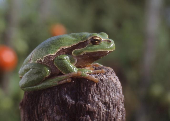 https://cdnfiles1.biolovision.net/www.faune-vendee.org/userfiles/RainetteFSig.jpg