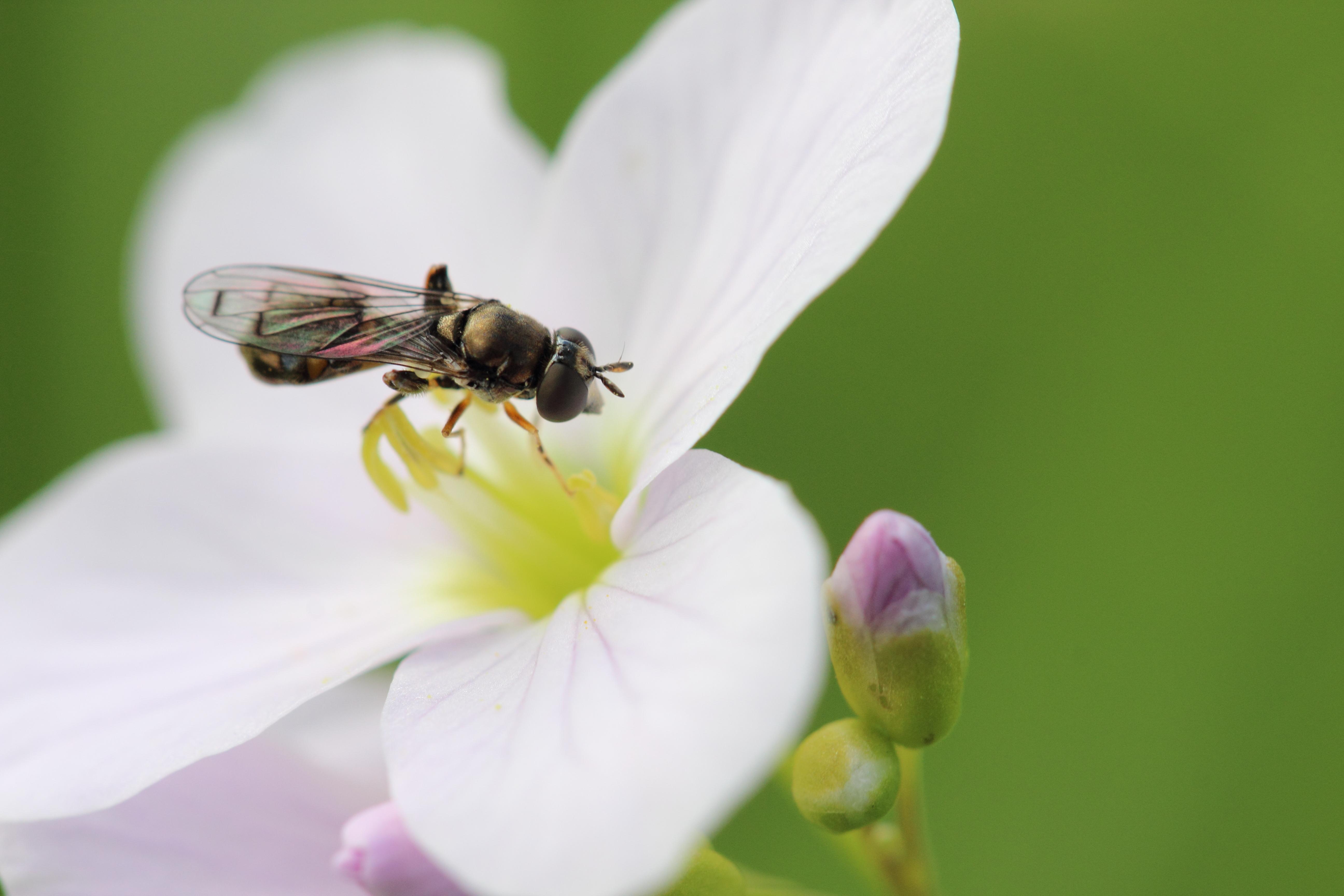 https://cdnfiles1.biolovision.net/www.faunegeneve.ch/userfiles/MonDossier/mouches/Neoascia.jpg