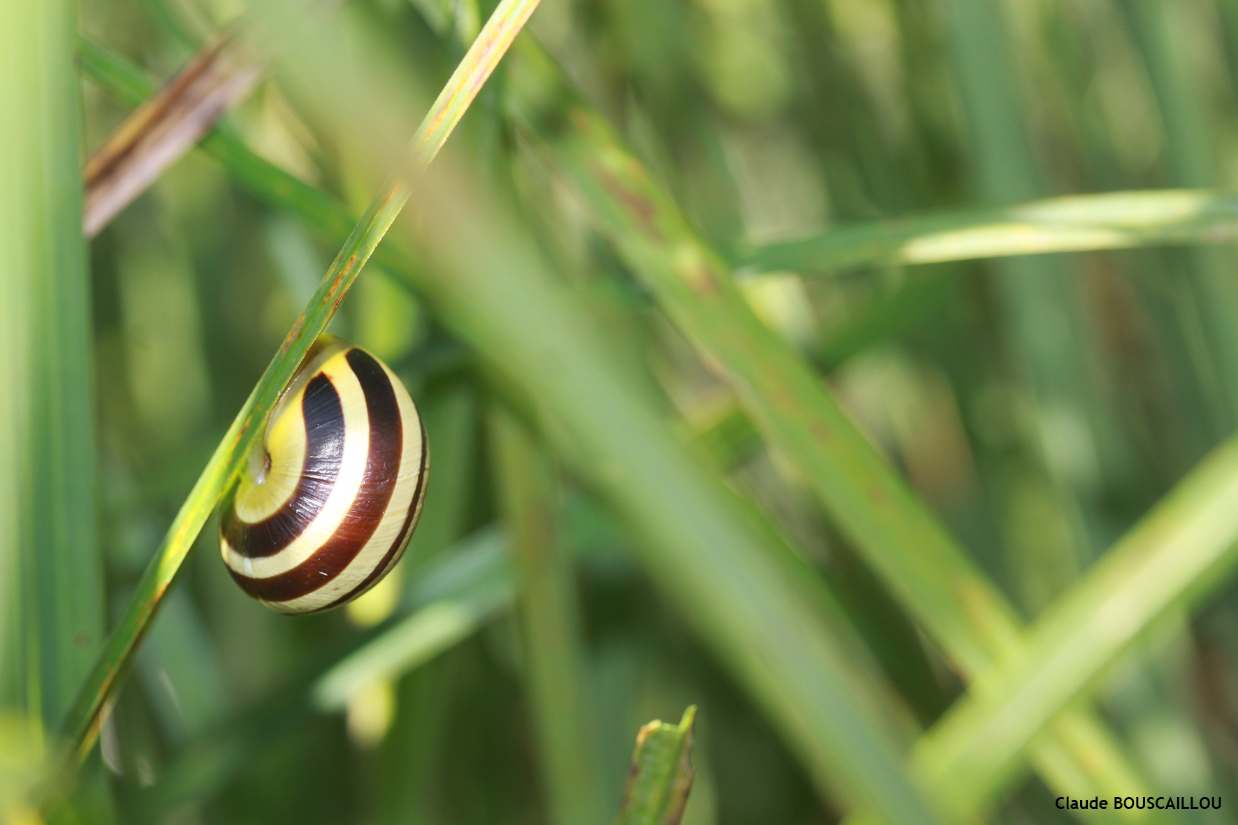 https://cdnfiles1.biolovision.net/www.faunegeneve.ch/userfiles/gasteros/Escargotdesjardins-Cepaeahortensis.jpg