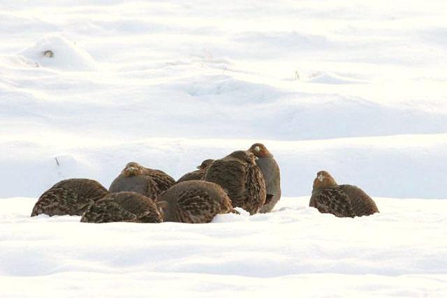 Groupe familiale de perdrix grises